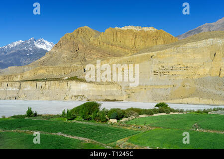 Gigantic cliff of ocre stone dotted by ancient cave dwellings, with green barley fields in the foreground. Chuksang, Upper Mustang region, Nepal. - Stock Image