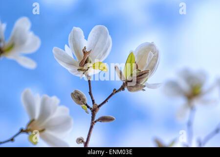 Magnolia flowers - Stock Image