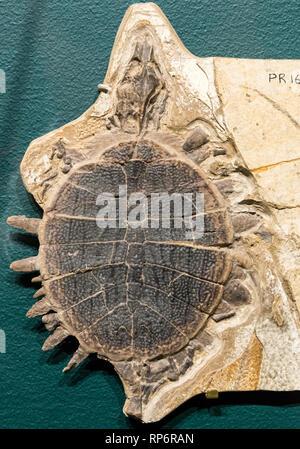 Fossil Soft-shelled Turtle (Plastomenus sp.) of Eocene age. The Field Museum. Chicago, Illinois, USA. - Stock Image