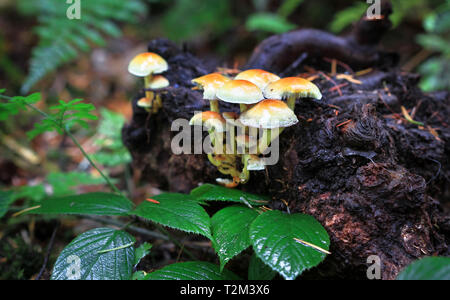 A group of sulfur tuft mushrooms (Hypholoma fasciculare) in Nesscliffe, Shropshire, England. - Stock Image