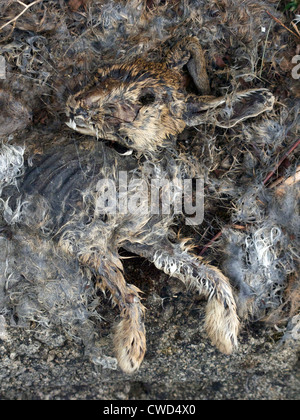 decayed rabbit. The area has the fatal myxomatosis rabbit disease. - Stock Image
