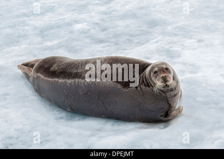 Bearded Seal or Square Flipper Seal, Erignathus barbatus, lying on the ice, Hinlopen Strait, Svalbard Archepelago, Norway - Stock Image