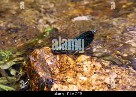 Beautiful demoiselle damselfly (Calopteryx virgo) male on station in his territory on a fast-flowing stream, UK. - Stock Image