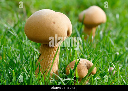 Fruiting bodies of an unknown fungus emerging through the grass. - Stock Image