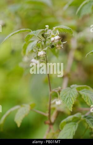 Rubus idaeus, Wild Raspbery flowers, Wales, UK - Stock Image