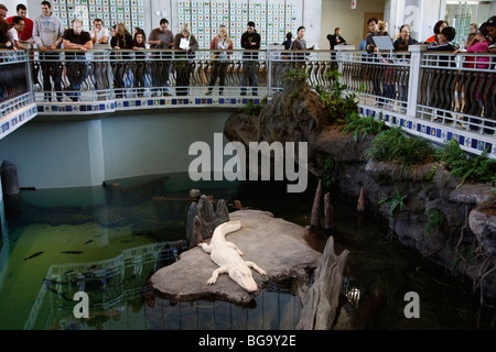 Albino American alligator, California Academy of Sciences, San Francisco, California, USA - Stock Image