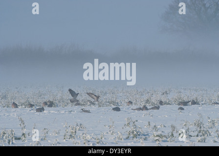 A flock of Wood-pigeons (Columba palumbus) feeding on snow-covered oilseed rape during winter in Britain - Stock Image