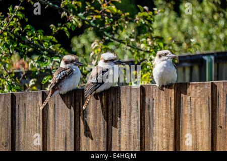 Three kookaburras on a garden fence - Stock Image