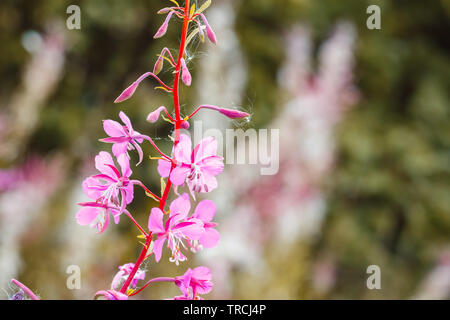 Selective focus, spring flowers opening in Hampstead Heath of London - Stock Image