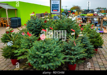 Potted Blue Spruce fir trees Picea pungens in a garden centre for sale at Christmas - Stock Image