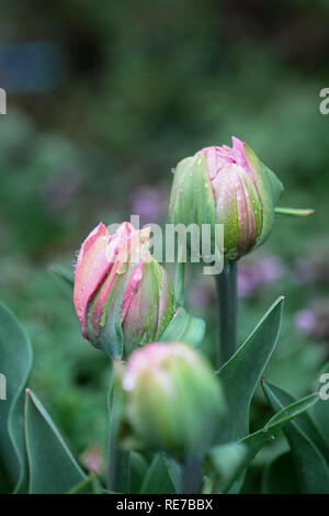 Beautiful double ruffled pink tulip , Angelique tulips, with rain drops growing in a garden. Selective focus on center tulip with soft blurred backgro - Stock Image