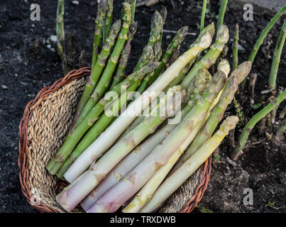 Harvest of white and green asparagus in wicker basket. Nature background. - Stock Image