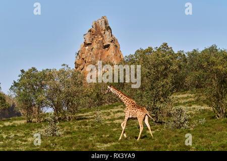 Kenya, Nakuru county, Hell's Gate National Park, giraffe - Stock Image