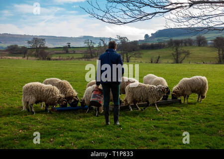 Shepherdess feeding her sheep Swaledale Rams with supplementary food after the breeding season - Stock Image