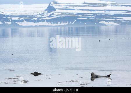 Harbour Seal, or Common Seal (Phoca vitulina) relaxing in the picturesque Icelandic fjord - Stock Image
