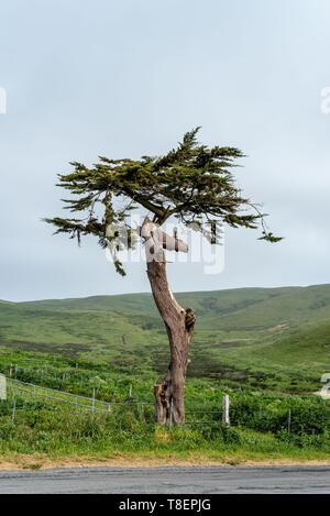 Twisted cypress tree in Point Reyes National Seashore to convey the concept of endurance in the face of life difficulties - Stock Image