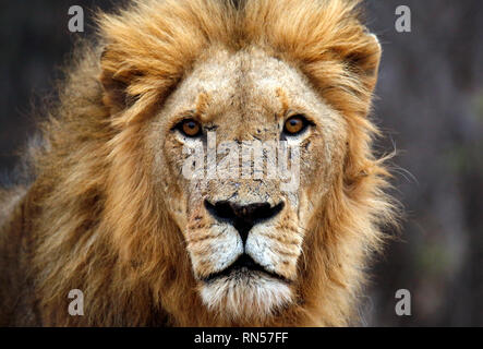 Male Lion Portrait, Looking into the Camera. Balule Nature Reserve, Kruger Park, South Africa - Stock Image