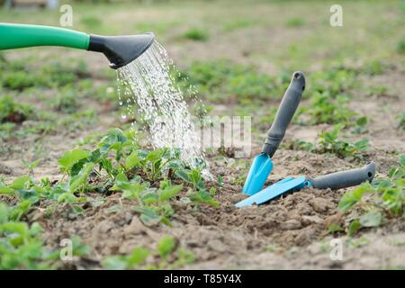 Garden watering can close up watering strawberries, with hand tools for cultivating the soil. Spring work - Stock Image