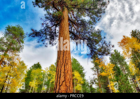 Ponderosa Pine tree with fall colored aspends. Forest near Sisters. Central Oregon - Stock Image