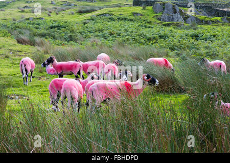 A flock of pink sheep in summer on a Cumbrian fell in the Lake District now a UNESCO World Heritage Site - Stock Image