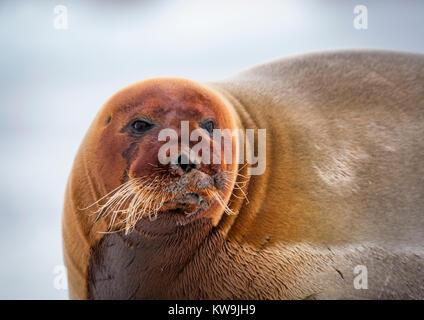 Bearded Seal on Ice Floe - Stock Image