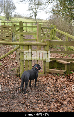 Black labrador retriever waiting to be let through dog gate beside a stile on a footpath - Stock Image