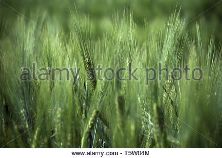Wheat field in germany - Stock Image