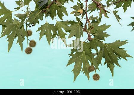 Klcyr village Albania - tree leaves & fruit against the river - Stock Image