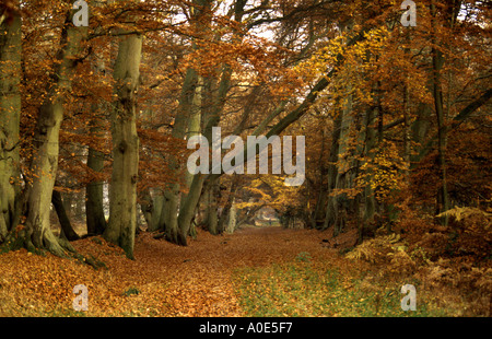 Autumn Colour, Ashridge Beech Trees - Stock Image