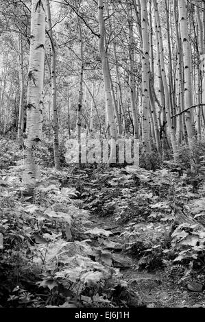 Aspen Forest B&W - Stock Image
