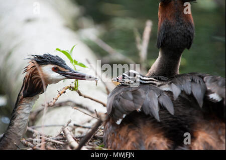 Great Crested Grebe,(Podiceps cristatus),feeding chick on parent's back at nest, Walthamstow Reservoirs, London, United Kingdom - Stock Image