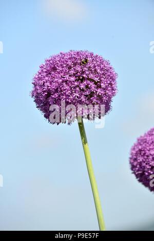 A single purple Allium bllom with Bee - Stock Image