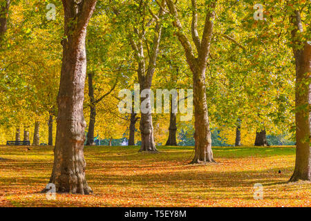 Autumn scene with leaves turning yellow in Green Park, London - Stock Image