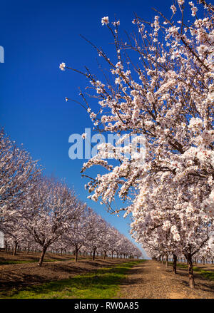 A beautiful and colourful Cherry orchard in flower, near Cordoba, Andalucia, Spain.  Spain is the second largest producer of cherries in Europe and th - Stock Image