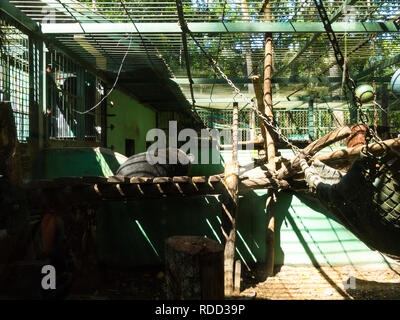 Rescued Asian Black  bear in Tat Kuang Si Bear Rescue Centre Laos Asia bears are kept in captivity to milk bile for Chinese medicine - Stock Image