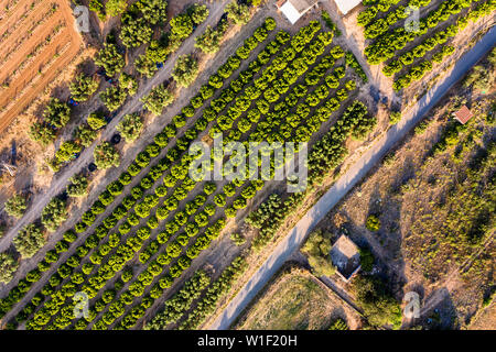 top view of a fruit trees plantation of a farm, green field agriculture industry aerial view - Stock Image