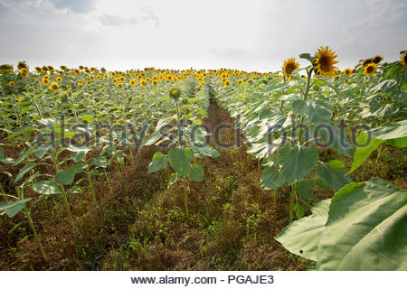 Sunflower, North Dakota - Stock Image