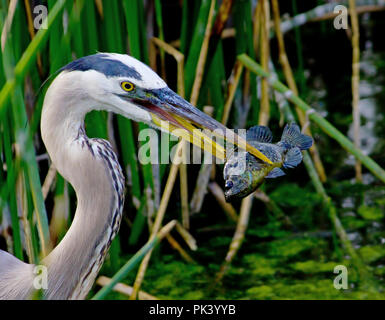 Great Blue Heron catches a fish for dinner in the Florida Everglades. - Stock Image