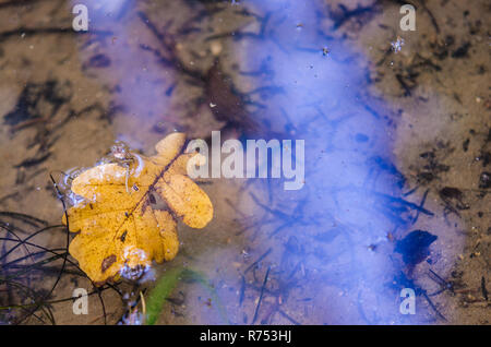 Yellow oak leaf floating on water surface. Fallen veined leaflet with rip adrift on transparent natural pool. Autumn close-up of limpid lake. - Stock Image