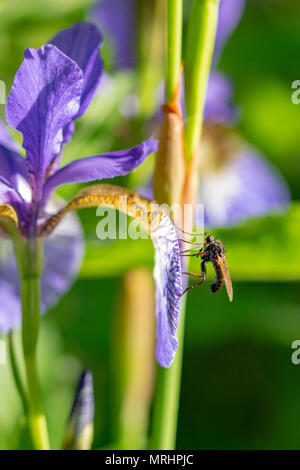Fly collecting pollen nectar on an Iris sibirica (commonly known as Siberian iris or Siberian flag) - Stock Image