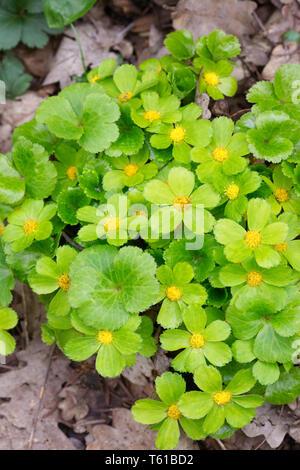 Hacquetia epipactis flowers. - Stock Image