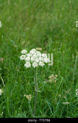 Giant Hogweed flower - Stock Image