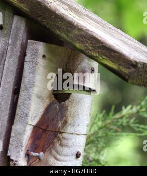 Garter snake in bird house Ohio - Stock Image