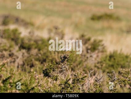 Skylark (Alauda arvensis) Purched on Gorse bush, Hay Bluff Hay on Wye Powys Wales UK. March 2019. - Stock Image