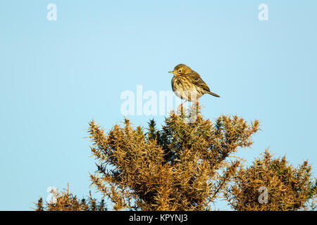 Meadow pipit, Latin name Anthus pratensis, perched on a broom shrub in warm light against a blue sky - Stock Image