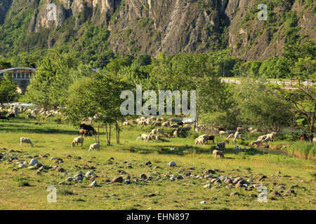 Sheep herd in the Italian alps. - Stock Image