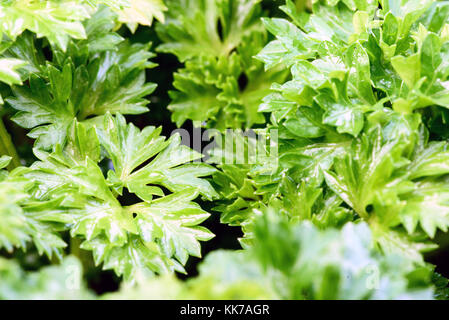 Close-up macro image of fresh green garden leaves in nature and an outdoor setting in natural sunlight - Stock Image