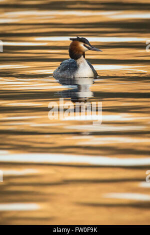 A Great Crested Grebe (Podiceps cristatus) swimming on water with amber and gold reflections - Stock Image