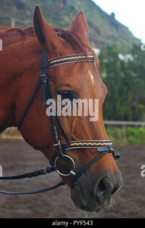 Chestnut sorrel Arabian horse, beautiful domestic animal with bridle with headstall and reins, close up profile of forehead, muzzle and chin groove - Stock Image