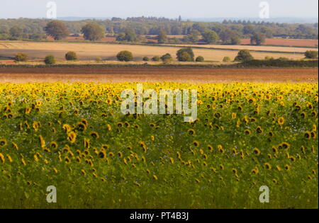Sunflower field on a sunny October day - Stock Image